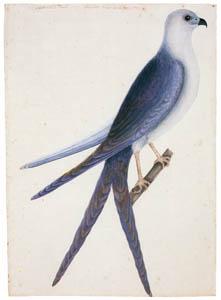 マーク・ケイツビー – ツバメトビ (マーク・ケイツビーの博物画 ウィンザー城王立図書館秘蔵より)のサムネイル画像