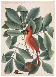 マーク・ケイツビー – ショウジョウコウカンチョウ、ヒッコリーの木と実 (マーク・ケイツビーの博物画 ウィンザー城王立図書館秘蔵より)のサムネイル画像