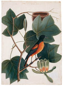 thumbnail Mark Catesby – Icterus galbula, Liriodendron tulipifera [from Mark Catesby's Natural History of America]