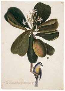 thumbnail Mark Catesby – Coereba flaveola bahamensis, Casasia clusiifolia [from Mark Catesby's Natural History of America]