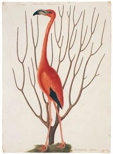 マーク・ケイツビー – ベニイロフラミンゴ (マーク・ケイツビーの博物画 ウィンザー城王立図書館秘蔵より)のサムネイル画像