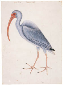 thumbnail Mark Catesby – Eudocimus albus [from Mark Catesby's Natural History of America]