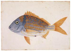 マーク・ケイツビー – ポークフィッシュ (マーク・ケイツビーの博物画 ウィンザー城王立図書館秘蔵より)のサムネイル画像