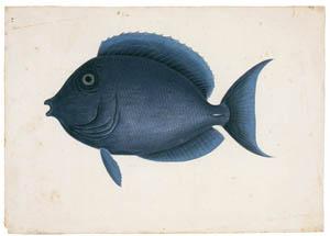 thumbnail Mark Catesby – Acanthurus coeruleus [from Mark Catesby's Natural History of America]