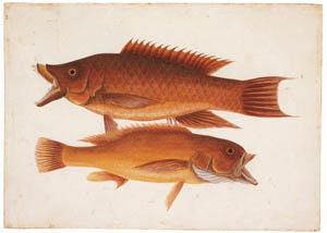 マーク・ケイツビー – スパニッシュ・ホッグフィッッシュ、コニー (マーク・ケイツビーの博物画 ウィンザー城王立図書館秘蔵より)のサムネイル画像