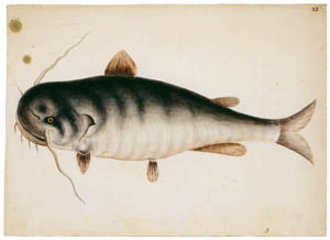thumbnail Mark Catesby – Haustor catus [from Mark Catesby's Natural History of America]