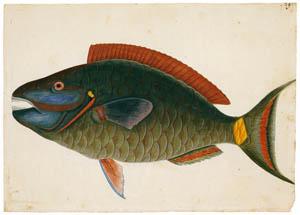 マーク・ケイツビー – ストップライトパロットフィッシュ (マーク・ケイツビーの博物画 ウィンザー城王立図書館秘蔵より)のサムネイル画像