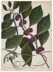 マーク・ケイツビー – 青緑のヘビ、カリカルパ・アメリカーナ、バージニアツユクサ (マーク・ケイツビーの博物画 ウィンザー城王立図書館秘蔵より)のサムネイル画像