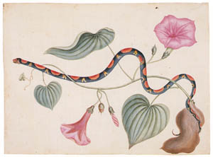 thumbnail Mark Catesby – Elaphe guttata, Ipomoea batatas [from Mark Catesby's Natural History of America]