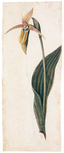 thumbnail Mark Catesby – Cypripedium calceolus [from Mark Catesby's Natural History of America]