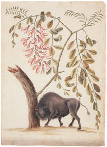 thumbnail Mark Catesby – Bison bison, Robinia hispida [from Mark Catesby's Natural History of America]