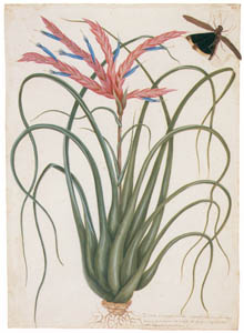 thumbnail Mark Catesby – Tillandsia fasciculata [from Mark Catesby's Natural History of America]