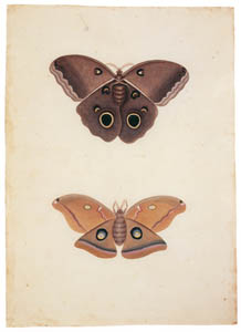 thumbnail Mark Catesby – Unknown moth, Telea polyphemus [from Mark Catesby's Natural History of America]
