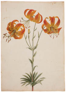 thumbnail Mark Catesby – Lilium michiganense [from Mark Catesby's Natural History of America]