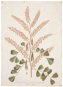 thumbnail Mark Catesby – Haematoxylum campechianum [from Mark Catesby's Natural History of America]