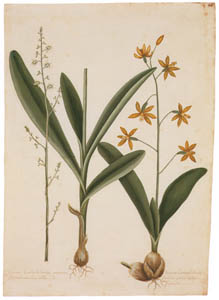 thumbnail Mark Catesby – Polystachya concreta, Epidendrum boothianum [from Mark Catesby's Natural History of America]