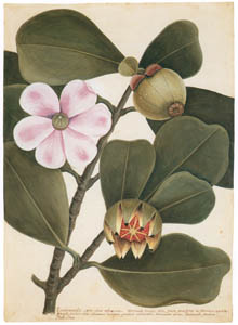 thumbnail Mark Catesby – Clusia rosea [from Mark Catesby's Natural History of America]